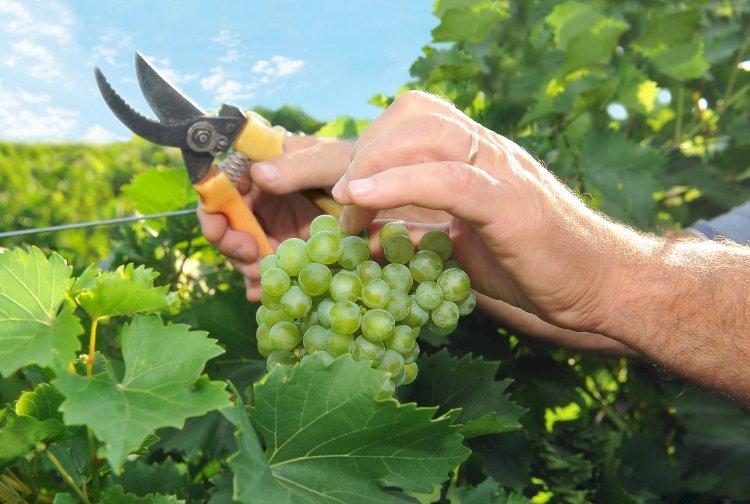 Сбор винограда. #Aliantavin