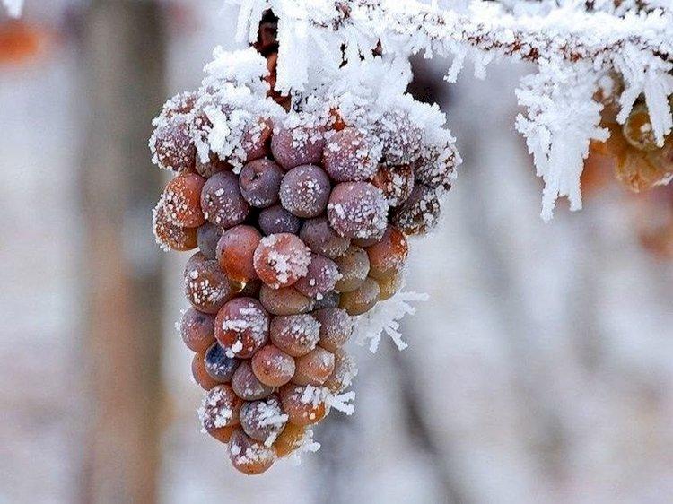 Ледяное вино#Aliantavin