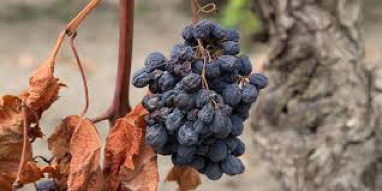 Зачем подвяливают виноград?